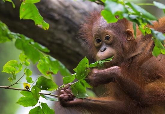 Za orangutany na Borneo -